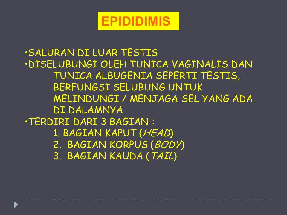 EPIDIDIMIS SALURAN DI LUAR TESTIS DISELUBUNGI OLEH TUNICA VAGINALIS DAN TUNICA ALBUGENIA SEPERTI TESTIS, BERFUNGSI SELUBUNG UNTUK MELINDUNGI / MENJAGA