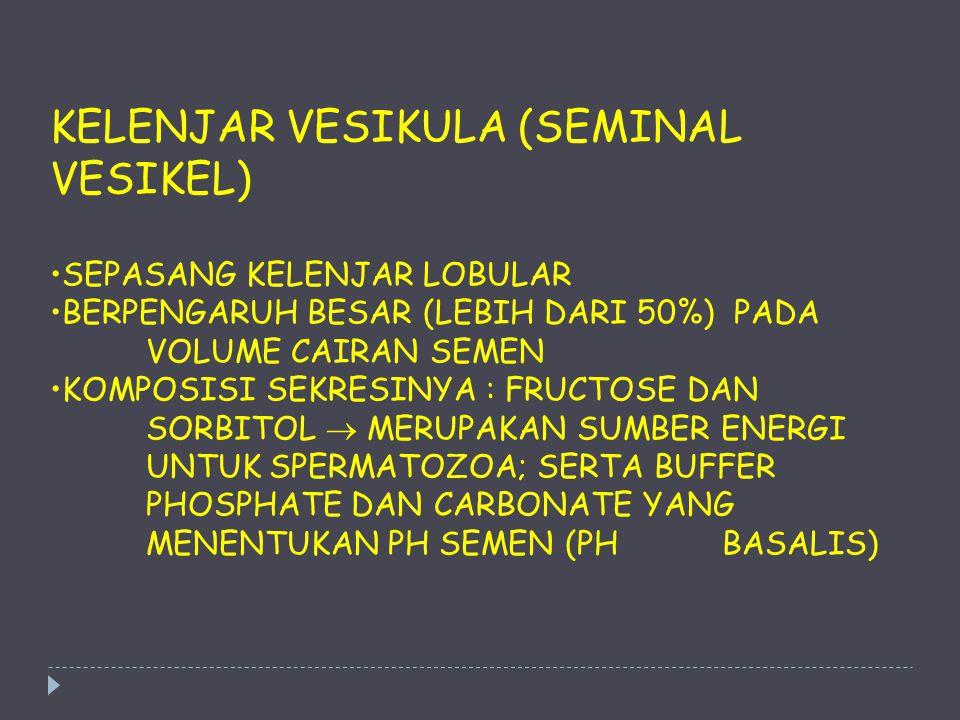 KELENJAR VESIKULA (SEMINAL VESIKEL) SEPASANG KELENJAR LOBULAR BERPENGARUH BESAR (LEBIH DARI 50%) PADA VOLUME CAIRAN SEMEN KOMPOSISI SEKRESINYA : FRUCT