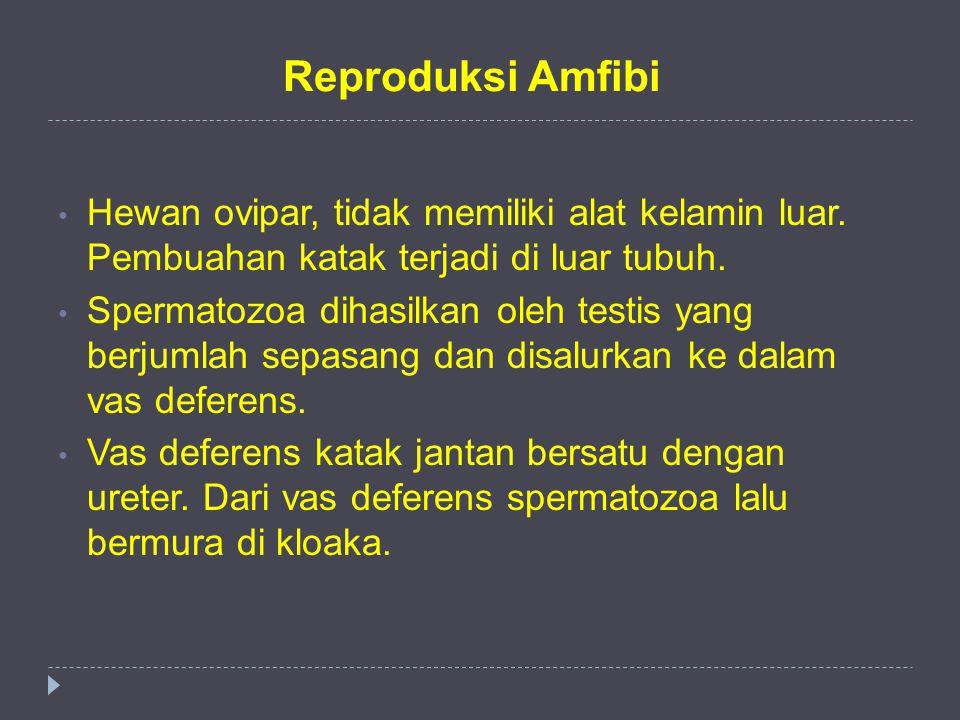 Reproduksi Amfibi Hewan ovipar, tidak memiliki alat kelamin luar. Pembuahan katak terjadi di luar tubuh. Spermatozoa dihasilkan oleh testis yang berju