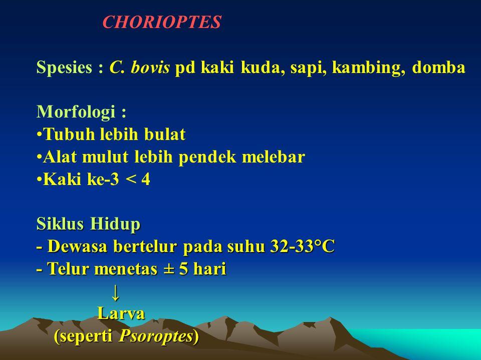 CHORIOPTES Spesies : C. bovis pd kaki kuda, sapi, kambing, domba Morfologi : Tubuh lebih bulat Alat mulut lebih pendek melebar Kaki ke-3 < 4 Siklus Hi