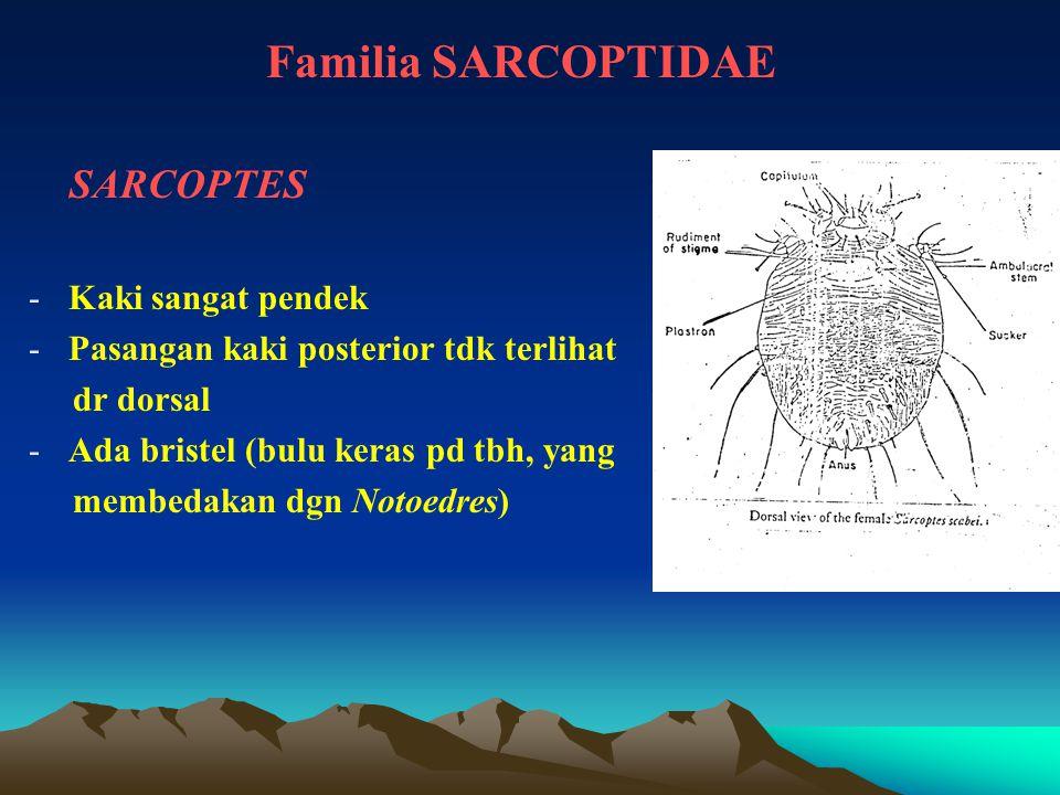 Familia SARCOPTIDAE SARCOPTES -Kaki sangat pendek -Pasangan kaki posterior tdk terlihat dr dorsal -Ada bristel (bulu keras pd tbh, yang membedakan dgn