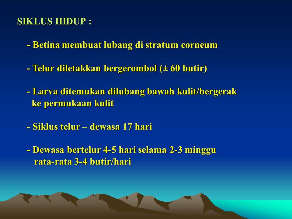 SIKLUS HIDUP : - Betina membuat lubang di stratum corneum - Betina membuat lubang di stratum corneum - Telur diletakkan bergerombol (± 60 butir) - Tel