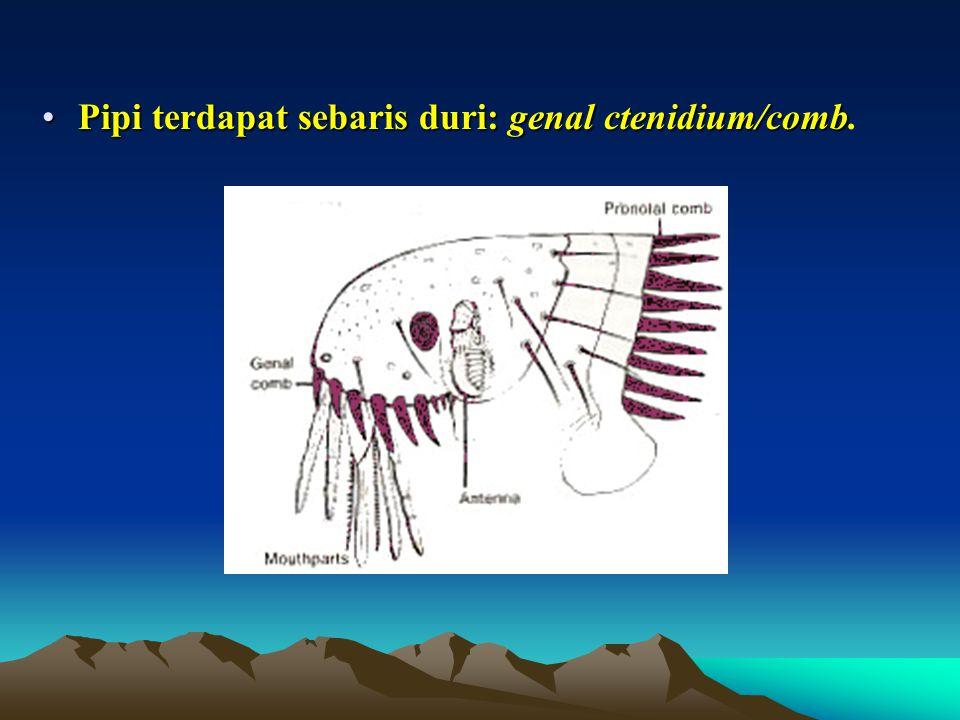 Pipi terdapat sebaris duri: genal ctenidium/combPipi terdapat sebaris duri: genal ctenidium/comb.