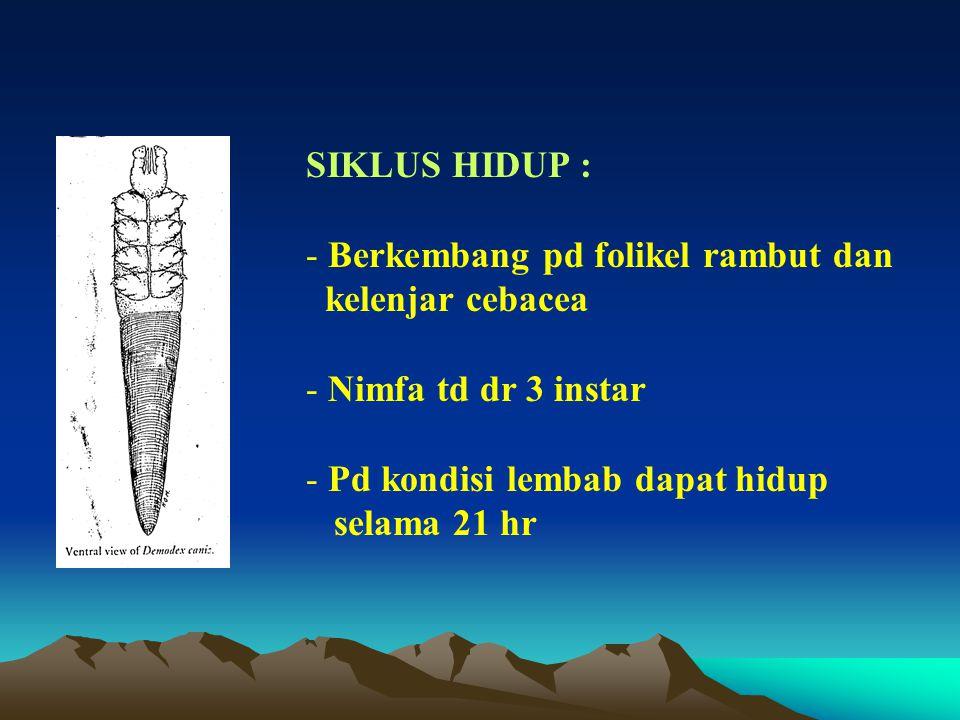 SIKLUS HIDUP : - Berkembang pd folikel rambut dan kelenjar cebacea - Nimfa td dr 3 instar - Pd kondisi lembab dapat hidup selama 21 hr