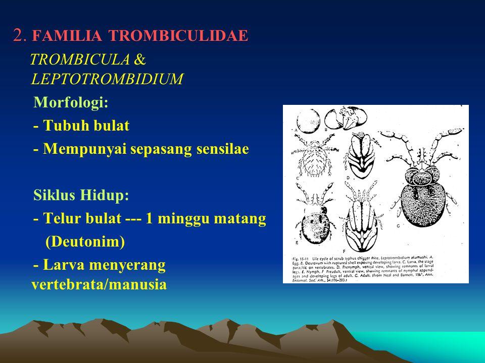 2. FAMILIA TROMBICULIDAE TROMBICULA & LEPTOTROMBIDIUM Morfologi: - Tubuh bulat - Mempunyai sepasang sensilae Siklus Hidup: - Telur bulat --- 1 minggu