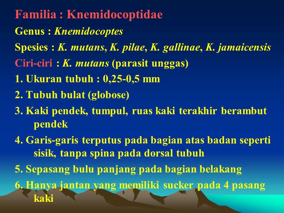 Familia : Knemidocoptidae Genus : Knemidocoptes Spesies : K. mutans, K. pilae, K. gallinae, K. jamaicensis Ciri-ciri : K. mutans (parasit unggas) 1. U