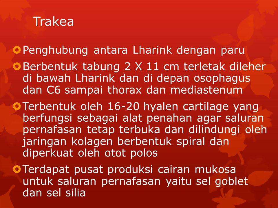  Penghubung antara Lharink dengan paru  Berbentuk tabung 2 X 11 cm terletak dileher di bawah Lharink dan di depan osophagus dan C6 sampai thorax dan