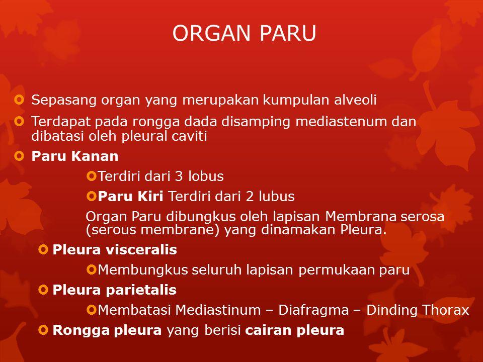ORGAN PARU  Sepasang organ yang merupakan kumpulan alveoli  Terdapat pada rongga dada disamping mediastenum dan dibatasi oleh pleural caviti  Paru