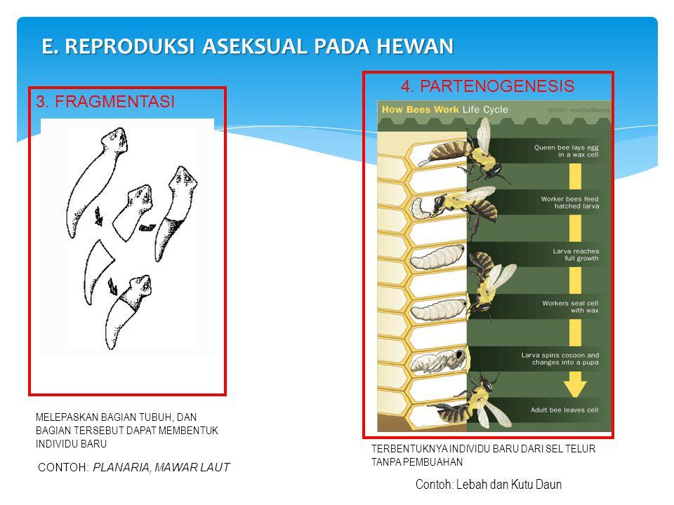 3. FRAGMENTASI E. REPRODUKSI ASEKSUAL PADA HEWAN 4. PARTENOGENESIS CONTOH: PLANARIA, MAWAR LAUT MELEPASKAN BAGIAN TUBUH, DAN BAGIAN TERSEBUT DAPAT MEM