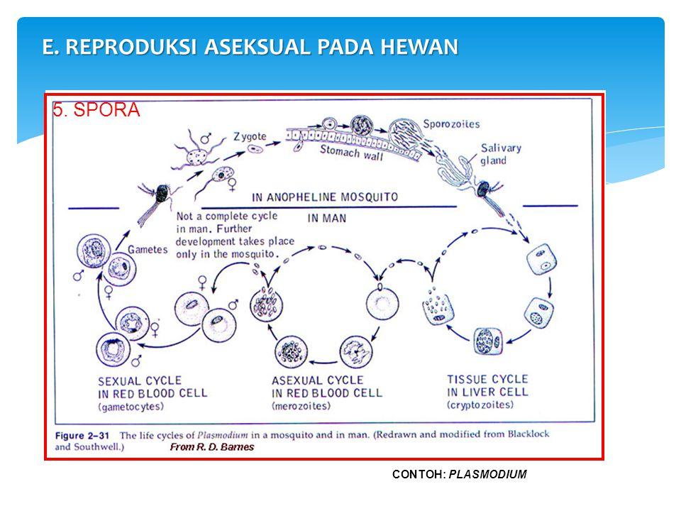 E. REPRODUKSI ASEKSUAL PADA HEWAN 5. SPORA CONTOH: PLASMODIUM
