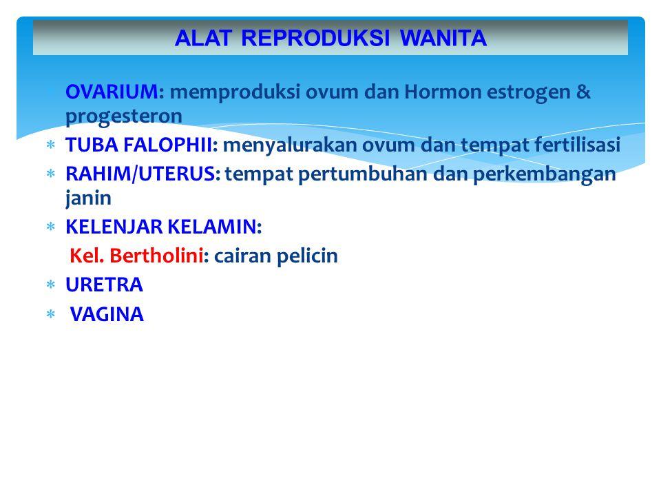  OVARIUM: memproduksi ovum dan Hormon estrogen & progesteron  TUBA FALOPHII: menyalurakan ovum dan tempat fertilisasi  RAHIM/UTERUS: tempat pertumb