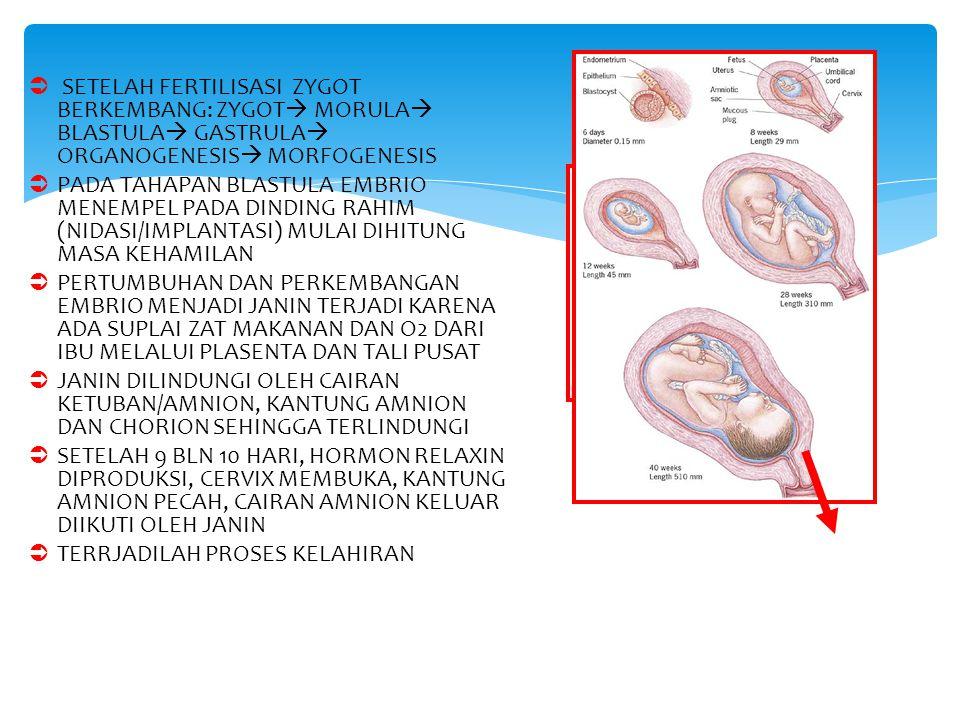  SETELAH FERTILISASI ZYGOT BERKEMBANG: ZYGOT  MORULA  BLASTULA  GASTRULA  ORGANOGENESIS  MORFOGENESIS  PADA TAHAPAN BLASTULA EMBRIO MENEMPEL PA