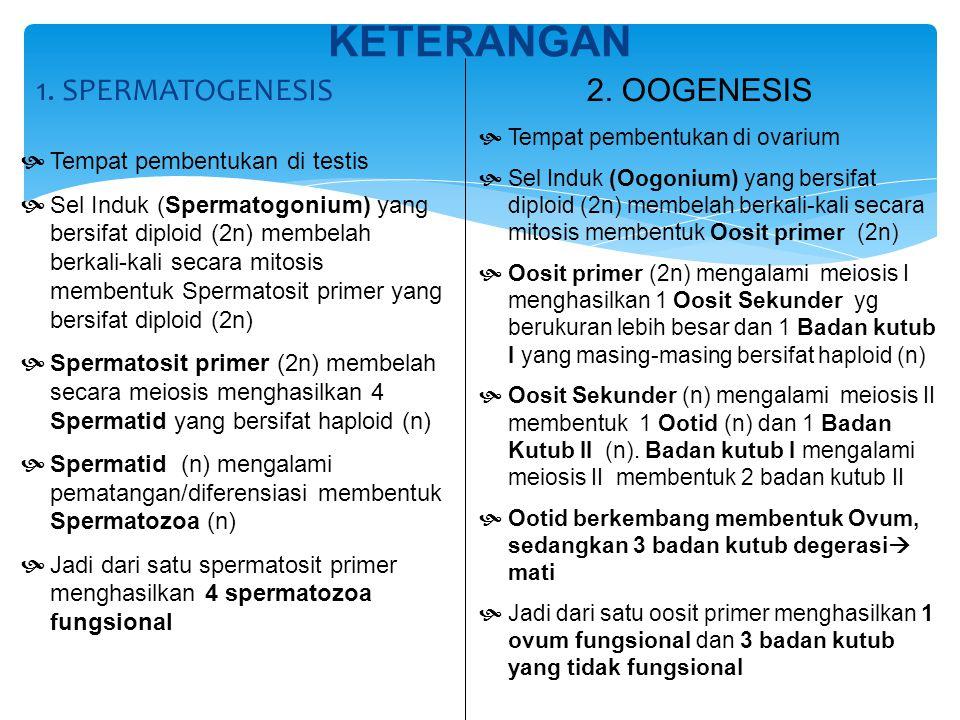 1. SPERMATOGENESIS KETERANGAN  Tempat pembentukan di testis  Sel Induk (Spermatogonium) yang bersifat diploid (2n) membelah berkali-kali secara mito