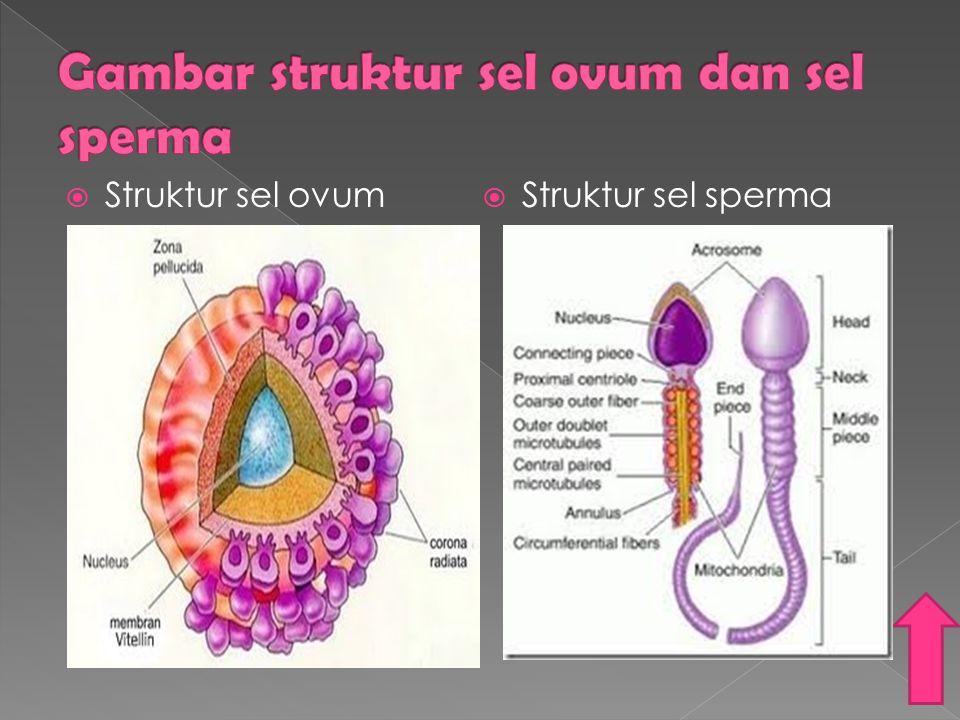  Struktur sel ovum  Struktur sel sperma