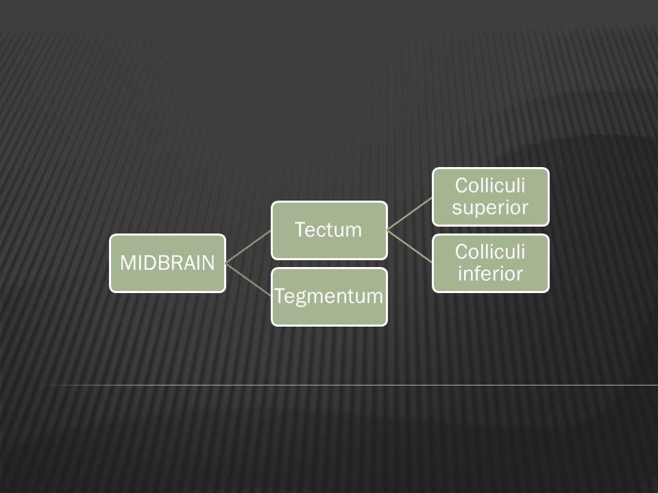 MIDBRAINTectum Colliculi superior Colliculi inferior Tegmentum