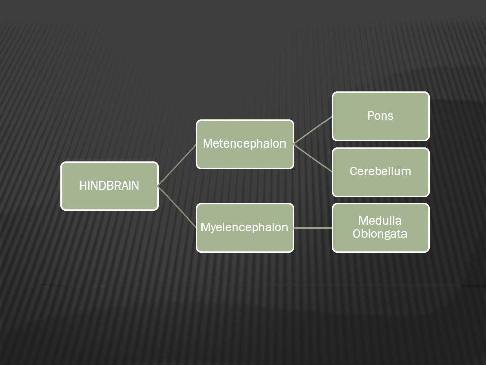 HINDBRAINMetencephalonPonsCerebellumMyelencephalon Medulla Oblongata