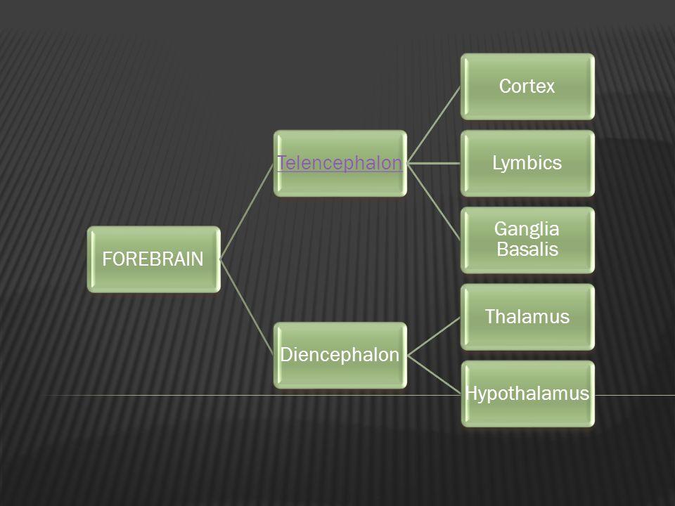FOREBRAINTelencephalonCortexLymbics Ganglia Basalis DiencephalonThalamusHypothalamus