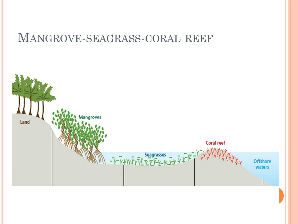 M ANGROVE - SEAGRASS - CORAL REEF