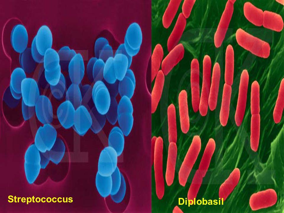 Diplobasil Streptococcus