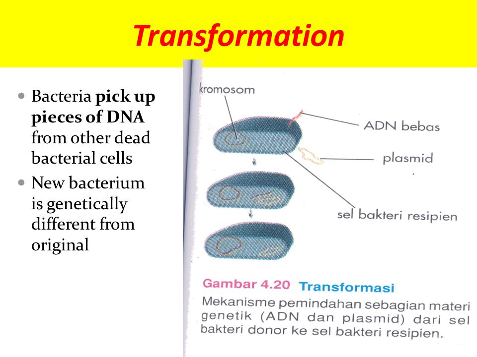 Transformation Bacteria pick up pieces of DNA from other dead bacterial cells New bacterium is genetically different from original