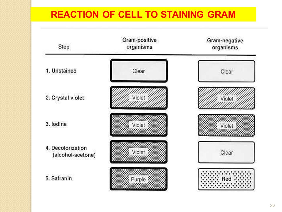 Materi Pelatihan Guru32 REACTION OF CELL TO STAINING GRAM