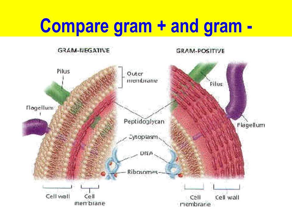 Compare gram + and gram -
