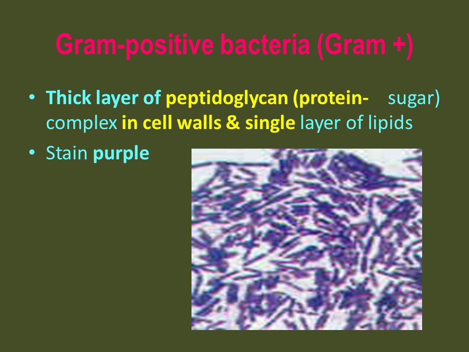 Gram-positive bacteria (Gram +) Thick layer of peptidoglycan (protein- sugar) complex in cell walls & single layer of lipids Stain purple