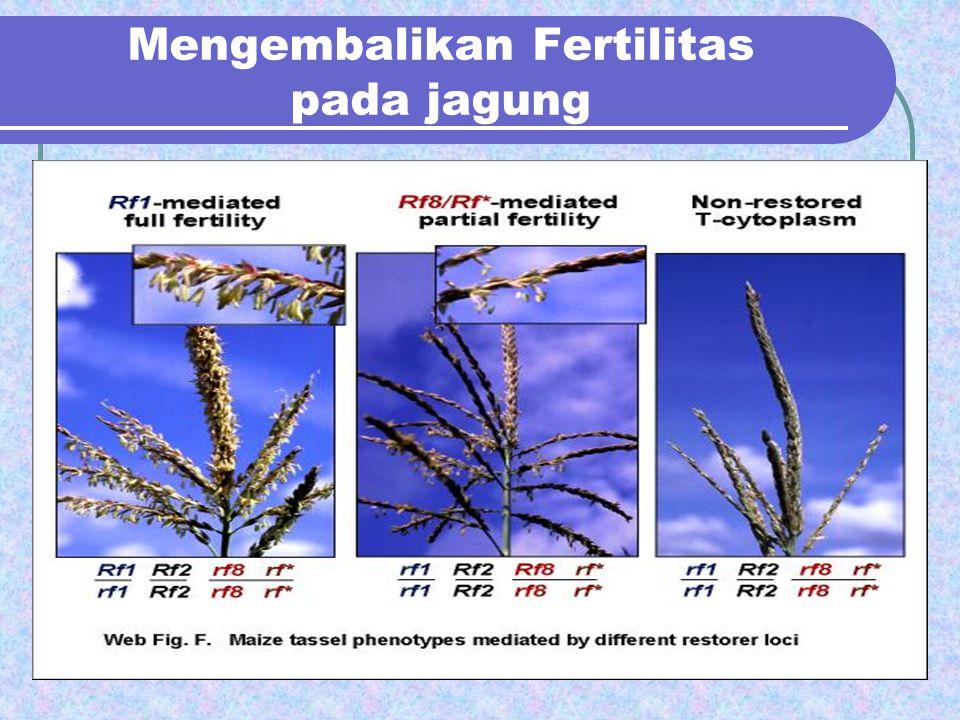 Mengembalikan Fertilitas pada jagung