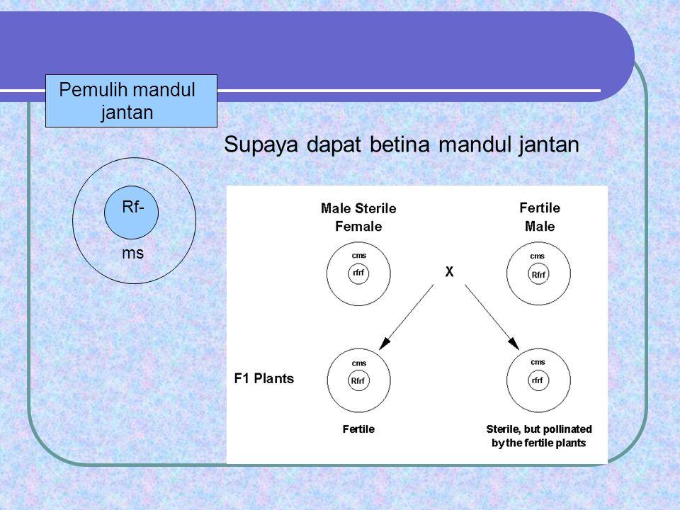 Rf- ms Supaya dapat betina mandul jantan Pemulih mandul jantan