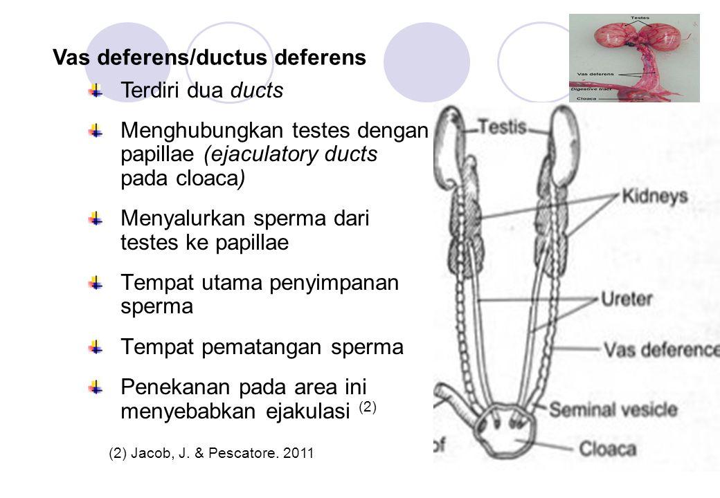 Vas deferens/ductus deferens Terdiri dua ducts Menghubungkan testes dengan papillae (ejaculatory ducts pada cloaca) Menyalurkan sperma dari testes ke