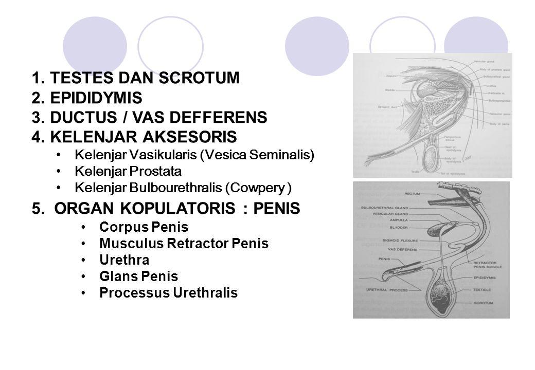 1.TESTES DAN SCROTUM 2.EPIDIDYMIS 3.DUCTUS / VAS DEFFERENS 4.KELENJAR AKSESORIS Kelenjar Vasikularis (Vesica Seminalis) Kelenjar Prostata Kelenjar Bul