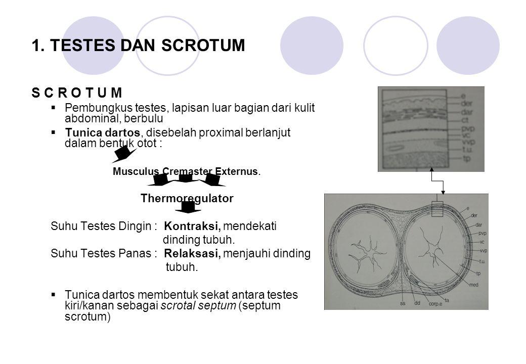 1. TESTES DAN SCROTUM S C R O T U M  Pembungkus testes, lapisan luar bagian dari kulit abdominal, berbulu  Tunica dartos, disebelah proximal berlanj