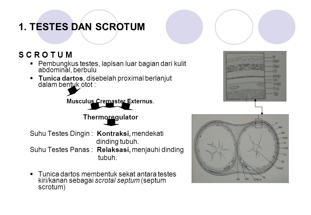 Fungsi: Tempat produksi sperma.Tempat produksi testosterone.