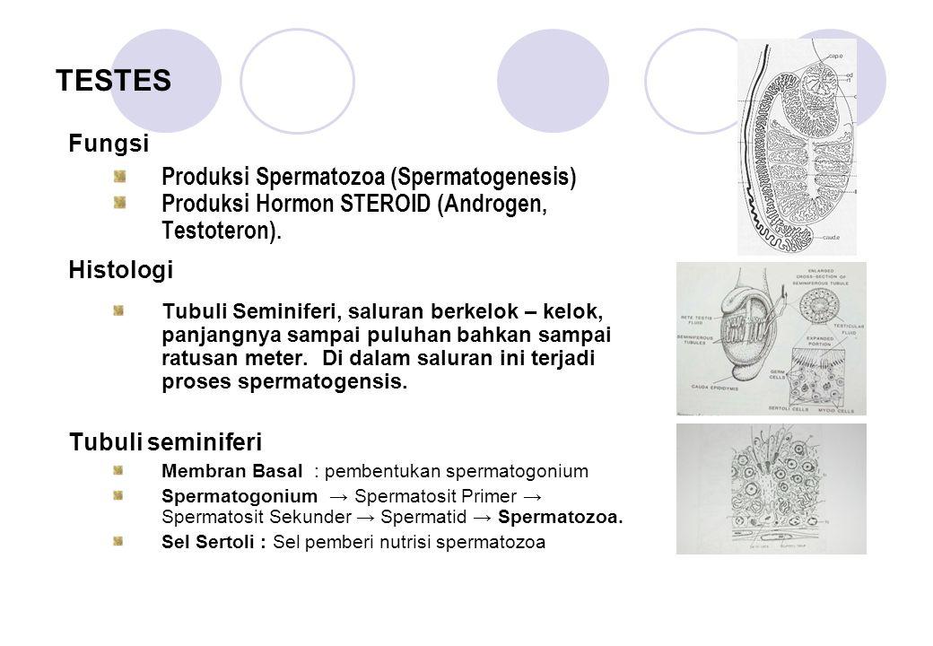 TESTES Fungsi Produksi Spermatozoa (Spermatogenesis) Produksi Hormon STEROID (Androgen, Testoteron). Histologi Tubuli Seminiferi, saluran berkelok – k