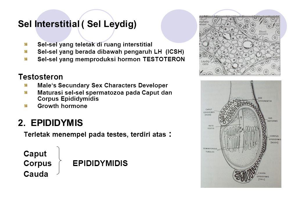 Sel Interstitial ( Sel Leydig) Sel-sel yang teletak di ruang interstitial Sel-sel yang berada dibawah pengaruh LH (ICSH) Sel-sel yang memproduksi horm