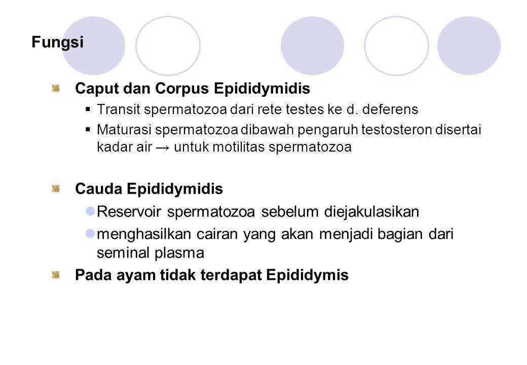 Fungsi Caput dan Corpus Epididymidis  Transit spermatozoa dari rete testes ke d. deferens  Maturasi spermatozoa dibawah pengaruh testosteron diserta