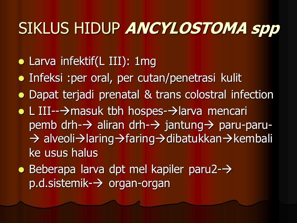 SIKLUS HIDUP ANCYLOSTOMA spp Larva infektif(L III): 1mg Larva infektif(L III): 1mg Infeksi :per oral, per cutan/penetrasi kulit Infeksi :per oral, per cutan/penetrasi kulit Dapat terjadi prenatal & trans colostral infection Dapat terjadi prenatal & trans colostral infection L III--  masuk tbh hospes-  larva mencari pemb drh-  aliran drh-  jantung  paru-paru-  alveoli  laring  faring  dibatukkan  kembali ke usus halus L III--  masuk tbh hospes-  larva mencari pemb drh-  aliran drh-  jantung  paru-paru-  alveoli  laring  faring  dibatukkan  kembali ke usus halus Beberapa larva dpt mel kapiler paru2-  p.d.sistemik-  organ-organ Beberapa larva dpt mel kapiler paru2-  p.d.sistemik-  organ-organ