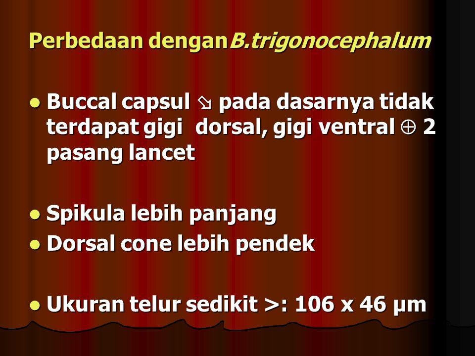 Perbedaan denganB.trigonocephalum Buccal capsul  pada dasarnya tidak terdapat gigi dorsal, gigi ventral  2 pasang lancet Buccal capsul  pada dasarnya tidak terdapat gigi dorsal, gigi ventral  2 pasang lancet Spikula lebih panjang Spikula lebih panjang Dorsal cone lebih pendek Dorsal cone lebih pendek Ukuran telur sedikit >: 106 x 46 µm Ukuran telur sedikit >: 106 x 46 µm