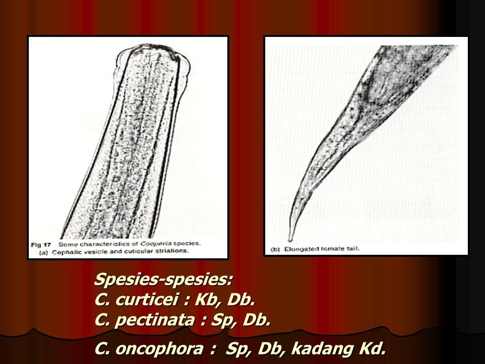 Spesies-spesies: C. curticei : Kb, Db. C. pectinata : Sp, Db. C. oncophora : Sp, Db, kadang Kd.