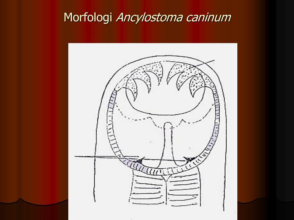 Morfologi Gaigeria