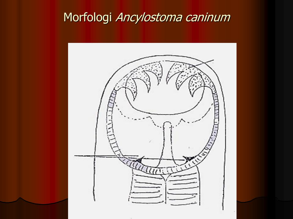 Morfologi Ancylostoma caninum