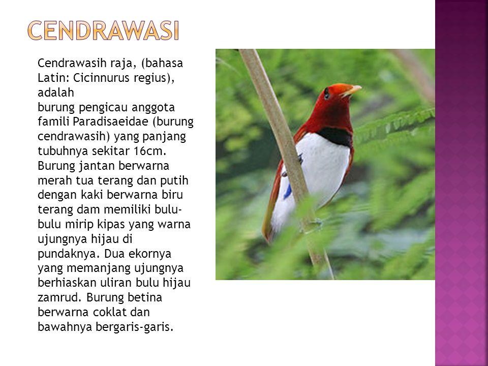 Cendrawasih raja, (bahasa Latin: Cicinnurus regius), adalah burung pengicau anggota famili Paradisaeidae (burung cendrawasih) yang panjang tubuhnya se