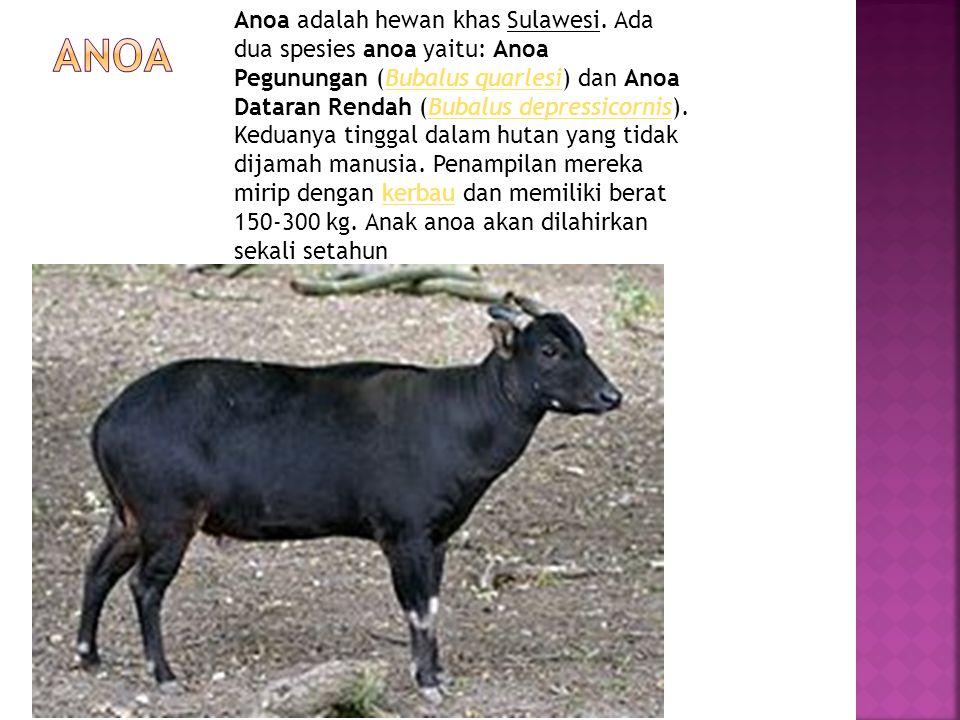 Anoa adalah hewan khas Sulawesi. Ada dua spesies anoa yaitu: Anoa Pegunungan (Bubalus quarlesi) dan Anoa Dataran Rendah (Bubalus depressicornis). Kedu