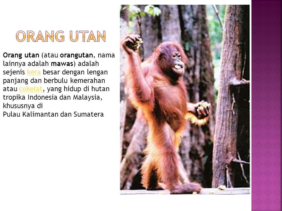 Orang utan (atau orangutan, nama lainnya adalah mawas) adalah sejenis kera besar dengan lengan panjang dan berbulu kemerahan atau cokelat, yang hidup