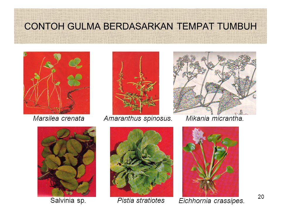 CONTOH GULMA BERDASARKAN TEMPAT TUMBUH Marsilea crenataAmaranthus spinosus.Mikania micrantha.