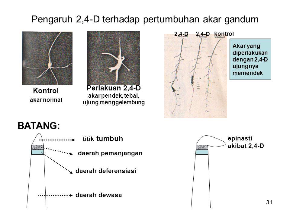 Pengaruh 2,4-D terhadap pertumbuhan akar gandum Kontrol akar normal Perlakuan 2,4-D akar pendek, tebal, ujung menggelembung 2,4-D 2,4-D kontrol Akar yang diperlakukan dengan 2,4-D ujungnya memendek BATANG: titik tumbuh daerah pemanjangan daerah deferensiasi daerah dewasa epinasti akibat 2,4-D 31