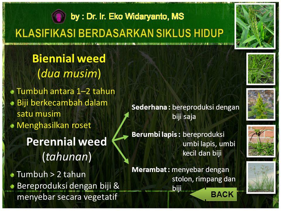 Biennial weed (dua musim) Tumbuh antara 1–2 tahun Tumbuh antara 1–2 tahun Biji berkecambah dalam satu musim Menghasilkan roset Menghasilkan roset Pere
