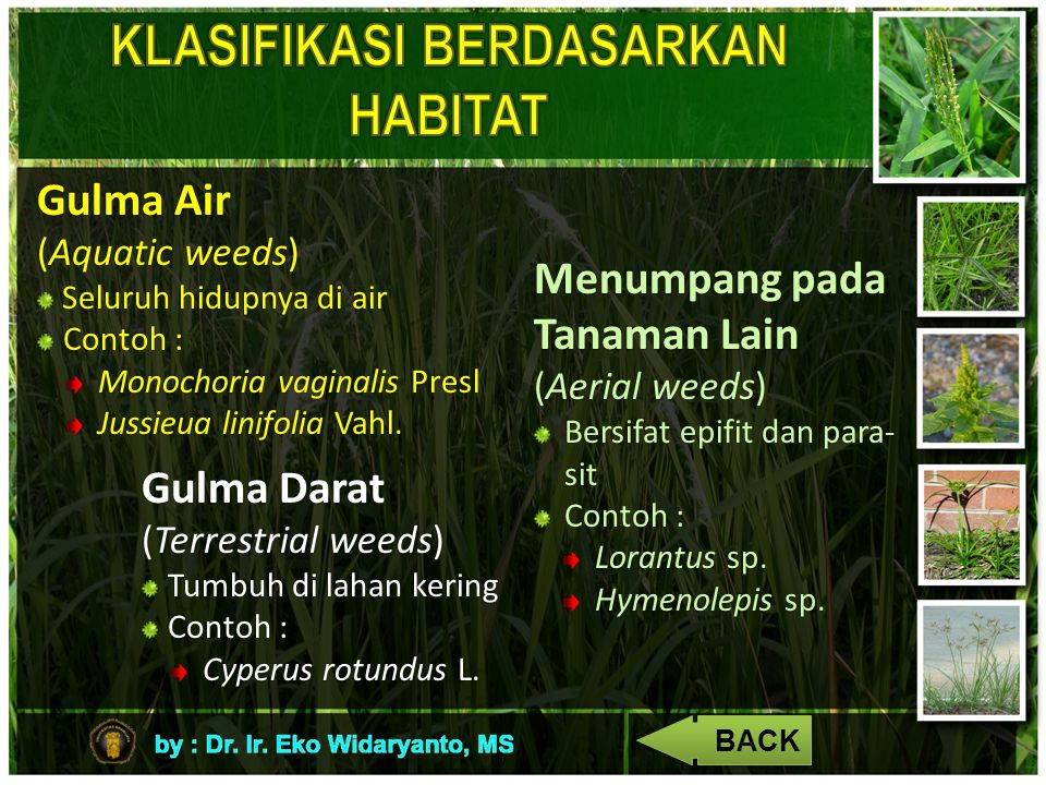 Gulma Air (Aquatic weeds) Seluruh hidupnya di air Seluruh hidupnya di air Contoh : Monochoria vaginalis Presl Jussieua linifolia Vahl. Gulma Darat (Te