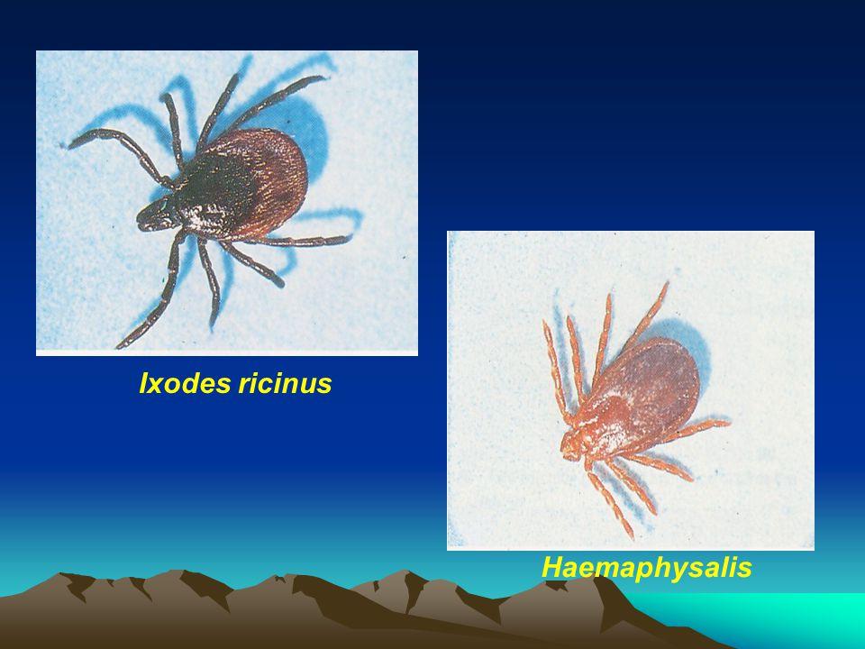 Ixodes ricinus Haemaphysalis
