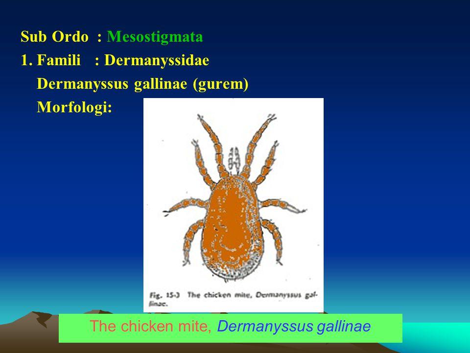 Sub Ordo : Mesostigmata 1. Famili : Dermanyssidae Dermanyssus gallinae (gurem) Morfologi: The chicken mite, Dermanyssus gallinae
